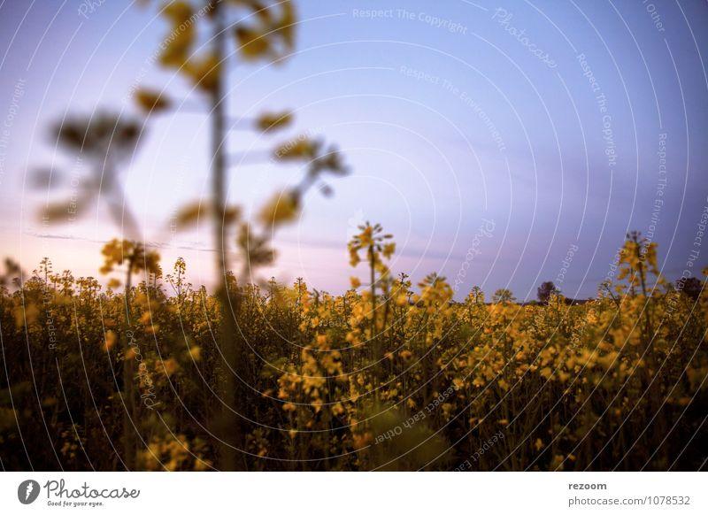 Rapsfeld Landwirtschaft Forstwirtschaft Natur Pflanze Himmel Frühling Nutzpflanze Feld natürlich blau gelb grün rosa Idylle Umwelt Farbfoto Außenaufnahme