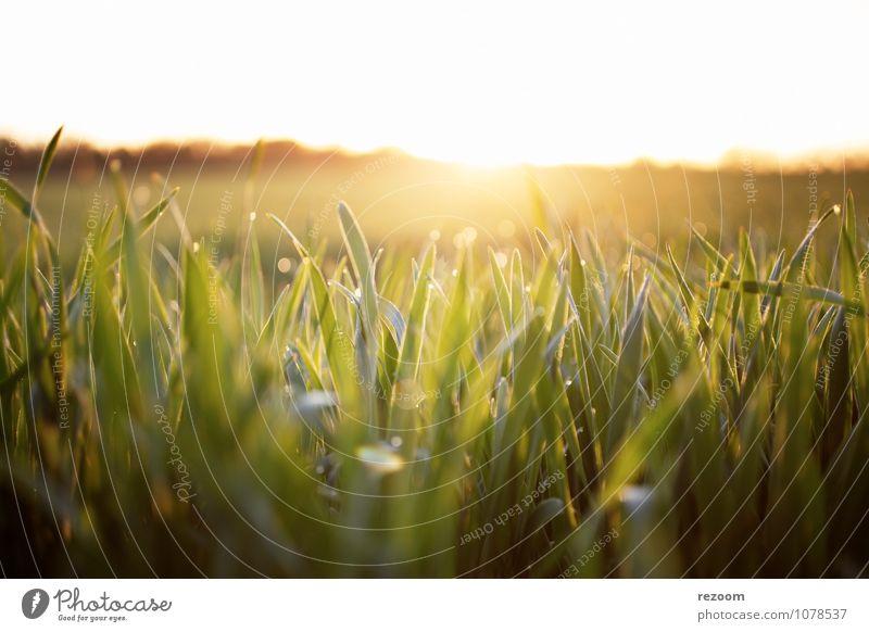 Sonnenaufgang Feld Landwirtschaft Forstwirtschaft Umwelt Natur Pflanze Sonnenuntergang Sonnenlicht Gras Nutzpflanze natürlich Wärme gelb grün Frühlingsgefühle
