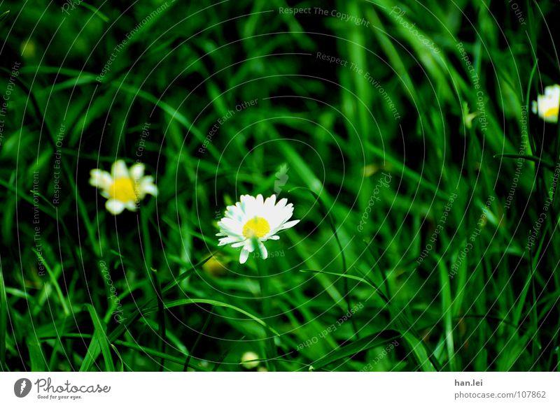 Gänseblümchen Garten Blume Gras klein durcheinander Gänseblime Wieße Rasen schwarz-grün weiß gelb Farbfoto