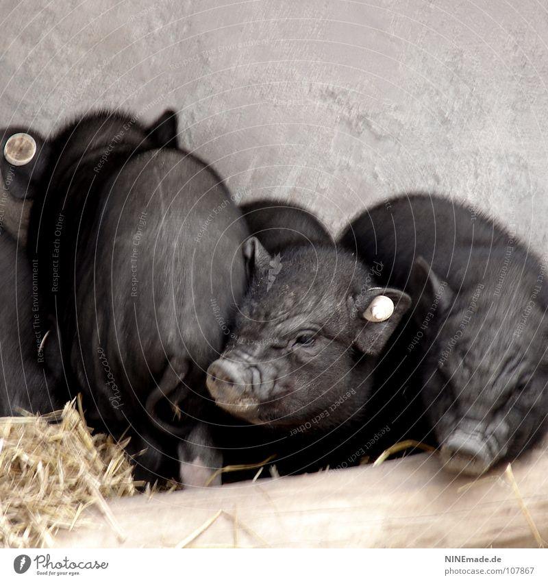 Schweinerei Hängebauchschwein Ferkel Grunzen quieken Holz schwarz Borsten niedlich klein Falte Schwanz Rüssel Stroh Stall Geruch Balken Nasenloch Bauernhof