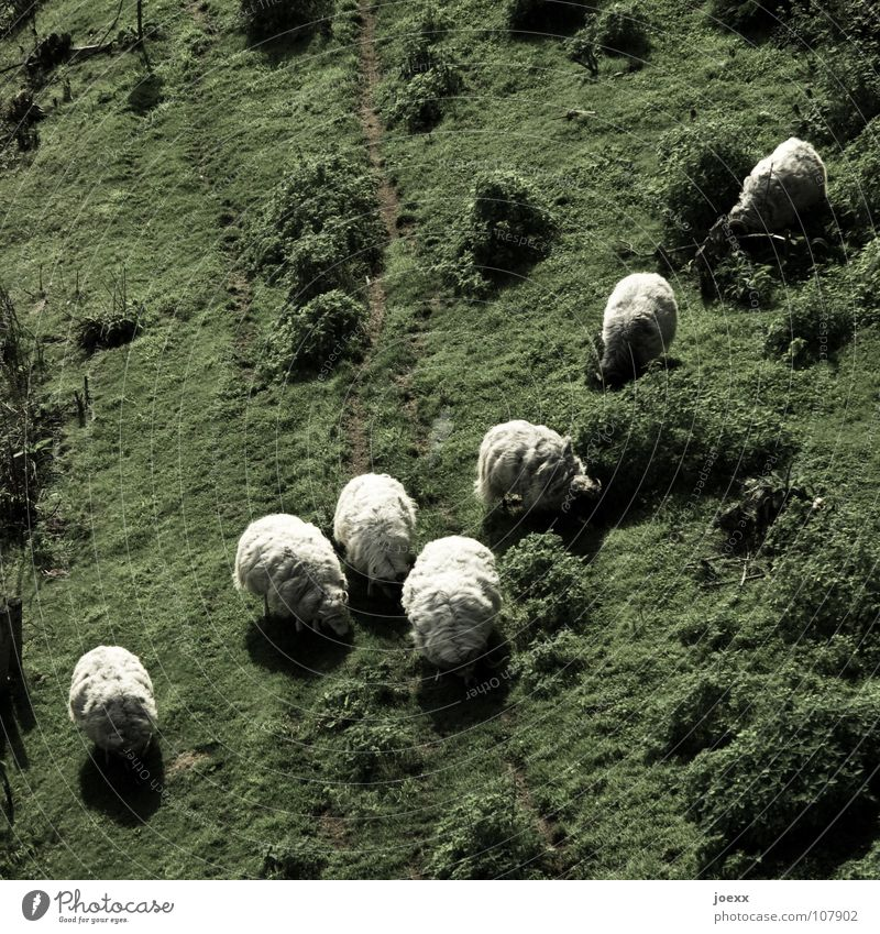 Schafspelz grün Wiese Fell Weide diagonal Fressen Pullover Säugetier Wolle Lamm stricken Schafswolle
