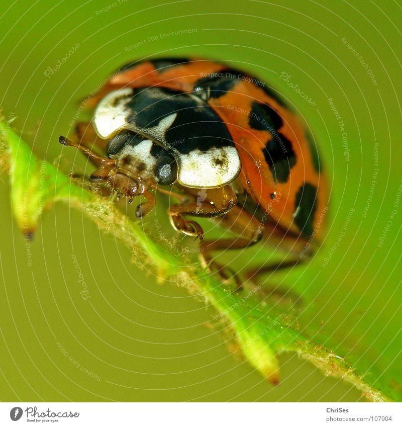 Asiatischer Marienkäfer_01 ( Harmonia axyridis ) Insekt weiß krabbeln grün rot schwarz Tier Käfer Frühling Sommer Makroaufnahme Nahaufnahme orange Punkt beetle