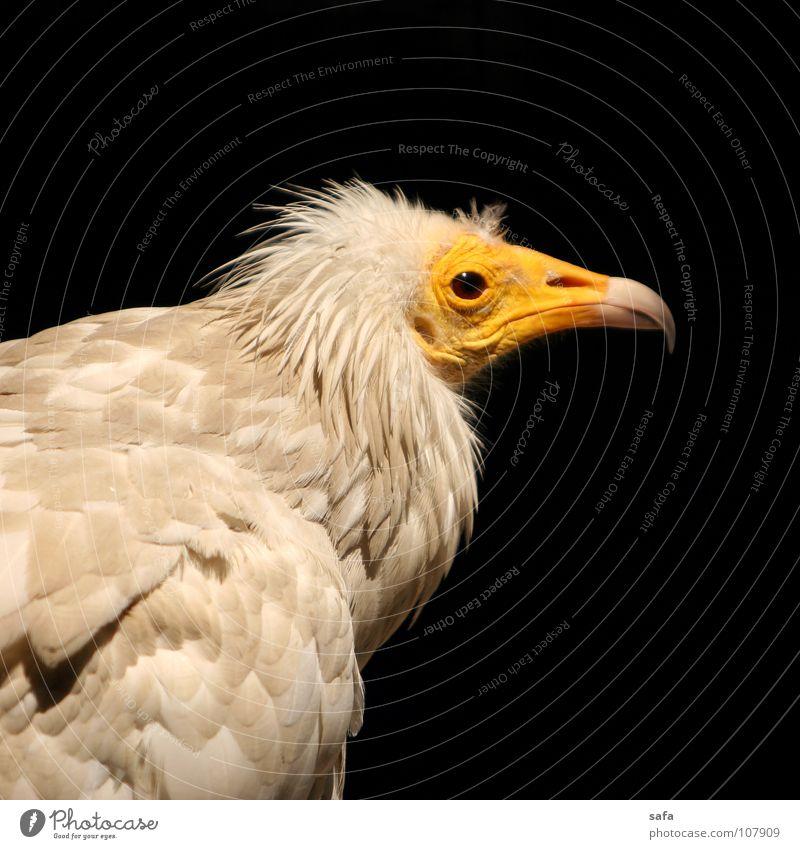 Buzzard Natur Tier Wildtier Vogel Zoo 1 wild gelb Iran Isfahan Asien canon buzzard Iraner Nase Kopf sleepy lazy schwarz Feder Schnabel weiß Farbfoto