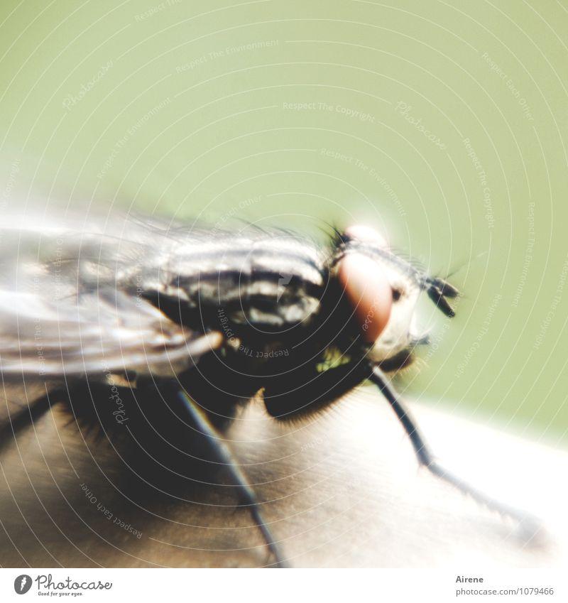 es fliegt, es fliegt... Menschenleer Tier Fliege 1 fliegen sitzen bedrohlich Ekel gruselig grün schwarz weiß bizarr Behaarung außergewöhnlich seltsam groß