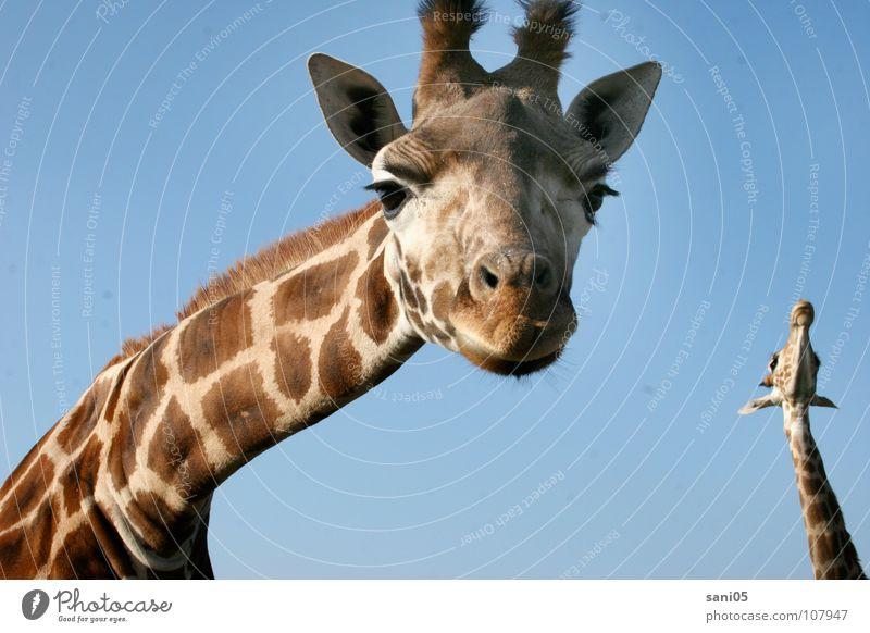 Dem Himmel so nah Tier groß Afrika Fell Zoo Wildtier sanft Giraffe Pflanzenfresser