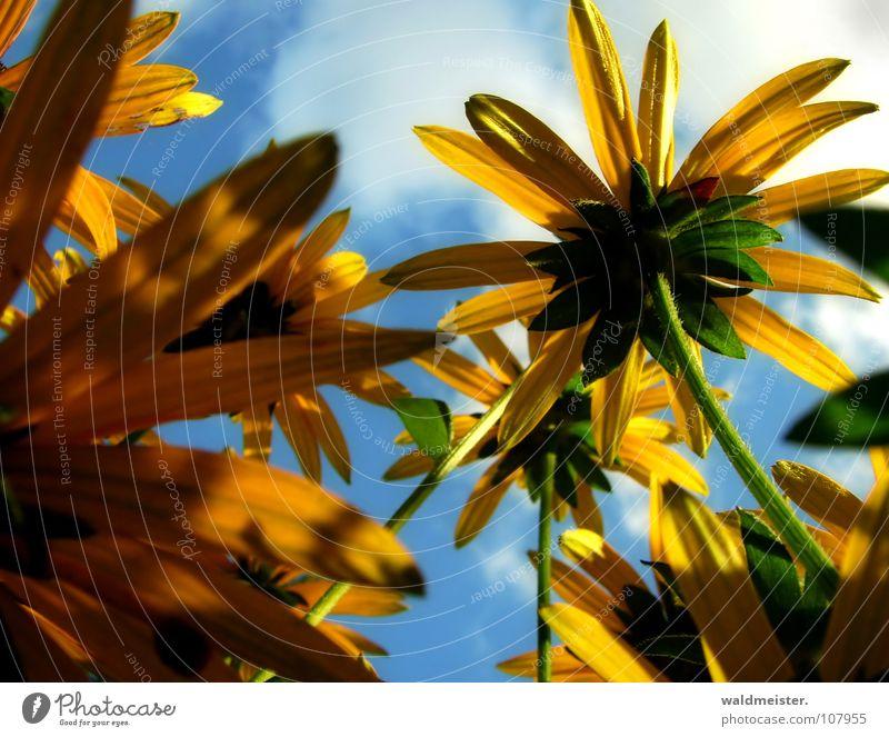 Sommerblumen Sonnenhut Blume Blüte Garten Stauden Beet Blumenbeet Himmel Wolken Licht Schatten gelb blau Romantik