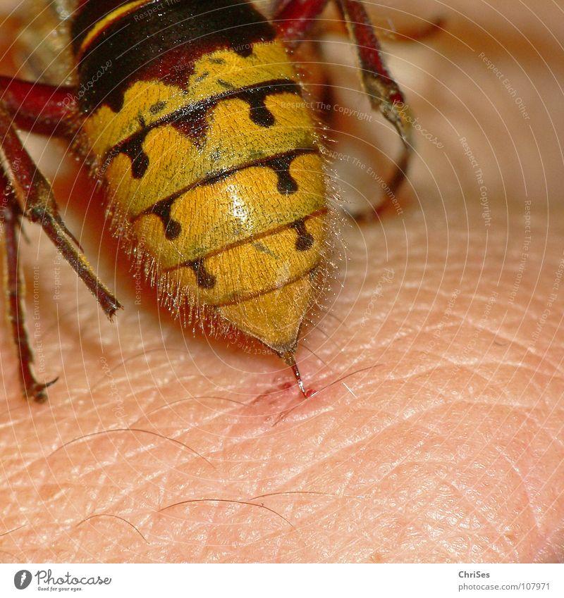 Hornissenhintern stechen ( Vespa crabro ) Hautflügler schwarz gelb Insekt Tier Sommer Herbst Angriff attackieren Hinterteil Nordwalde Angst Panik Makroaufnahme