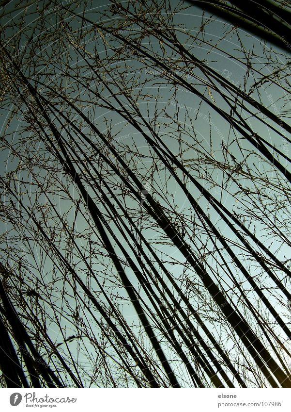 ::HIDING-PLACE:: Nacht Gras Pflanze schwarz Linie verzweigt Stil Stab rückwärts diagonal Verlauf grau grün Herbst perspektive.halme Natur Versteck nach oben