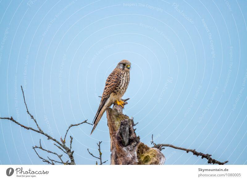 Turmfalke (weiblich) Himmel Natur Sommer Baum Tier Winter Wald Umwelt Herbst Wiese Frühling Denken Garten fliegen Vogel Luft