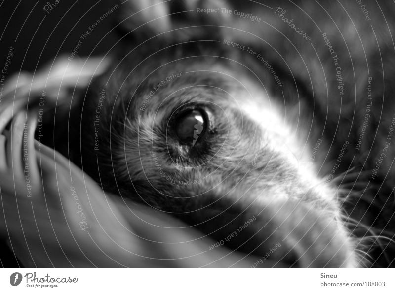 Mittagspause Schwarzweißfoto Innenaufnahme Kunstlicht Kontrast Starke Tiefenschärfe Tierporträt Blick in die Kamera Blick nach vorn Fell grauhaarig Haustier