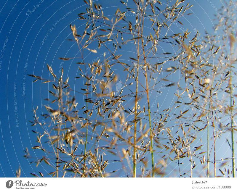 Gräser im Herbst schön Himmel blau Gras mehrere Spaziergang einfach zart Ernte viele