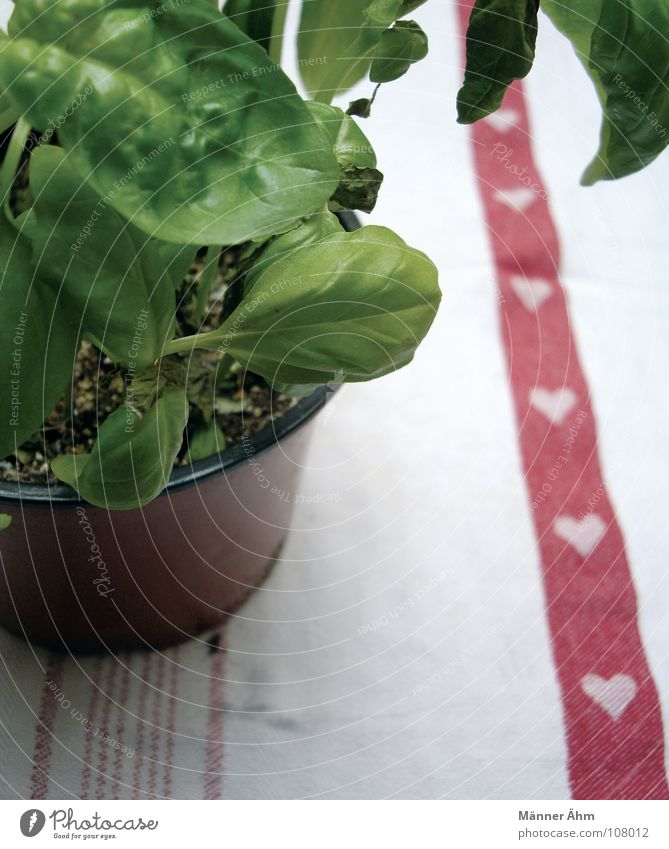 Mit viel Liebe... Basilikum Pflanze Kräuter & Gewürze Grünpflanze Topf Italien beachten Grüner Daumen Erfrischung Tisch Kräutergarten Kräuterhexe grün
