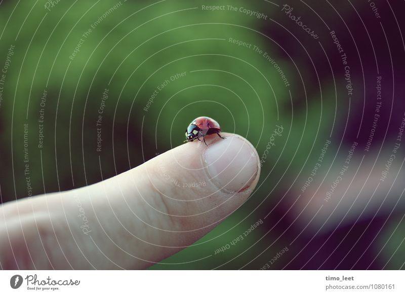 Gib nicht auf Tier Käfer 1 festhalten krabbeln fantastisch Unendlichkeit klein nah grün rot Vertrauen Tierliebe Höhenangst Marienkäfer Finger Farbfoto