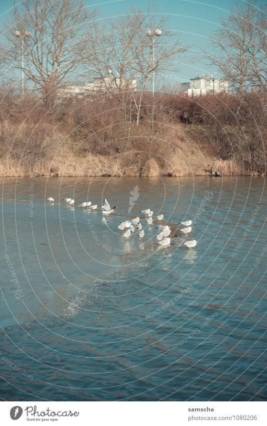 auf dünnem Eis Umwelt Natur Landschaft Pflanze Tier Wasser Frühling Winter Wetter Schönes Wetter Frost Park Küste Seeufer Bucht Teich Vogel Tiergruppe fliegen