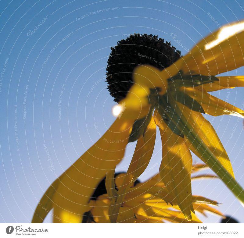 Sommer-Finale... Blume Blüte Blütenblatt Stengel Seite nebeneinander emporragend gelb grün braun Vergänglichkeit Sonnenhut Schatten aufwärts hoch Himmel