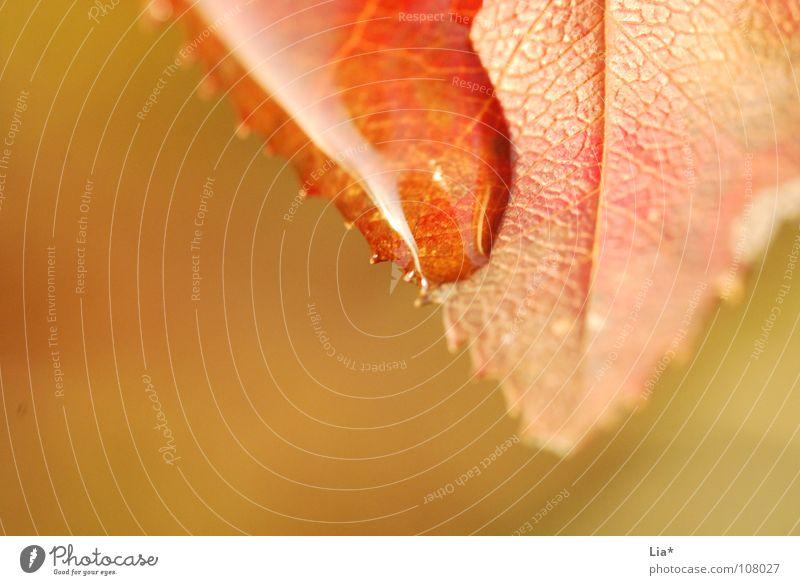 Oberflächenspannung Nahaufnahme Makroaufnahme Unschärfe Wellness Erholung ruhig Natur Wasser Wassertropfen Herbst Regen Baum Blatt nass zart Laubbaum Tränen