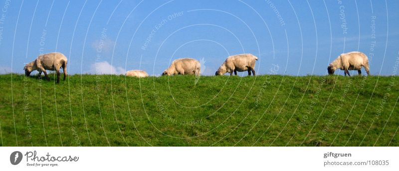 sheepwalk Himmel weiß grün blau Wolken Tier Wiese Gras Schaf Fressen Säugetier Blauer Himmel Wolle Deich Pflanze Laufsteg