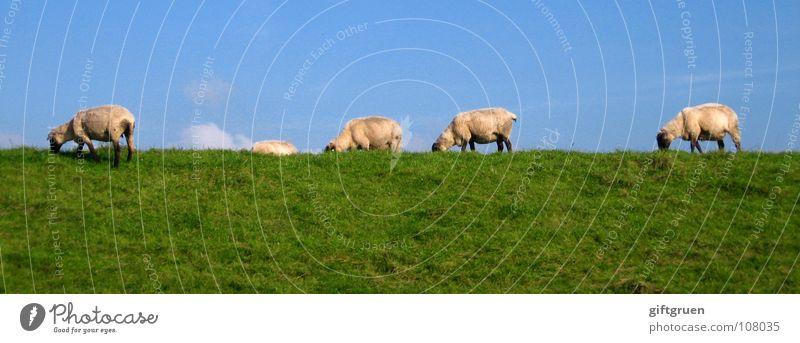 sheepwalk Schaf Wolle Wiese Gras grün weiß Wolken Altokumulus floccus Fressen Deich Laufsteg Tier Säugetier blau Himmel Blauer Himmel