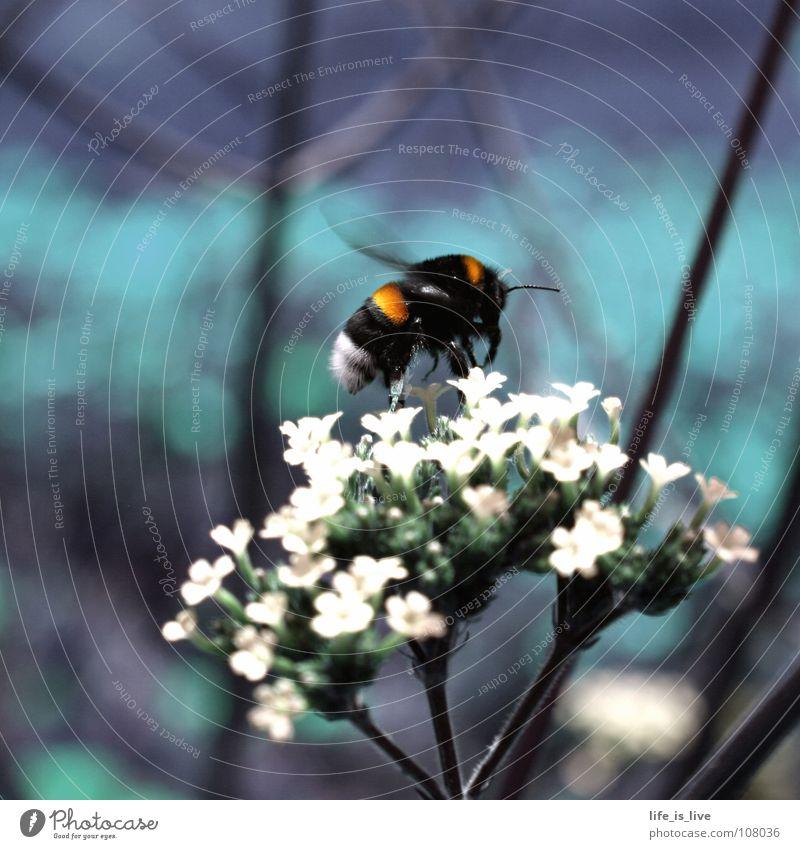 summ_bienchen_summ² Sommer Biene Blume flattern Fliederbusch grün Pause stechen Honig Staubfäden Insekt fleißig Makroaufnahme Nahaufnahme Leben