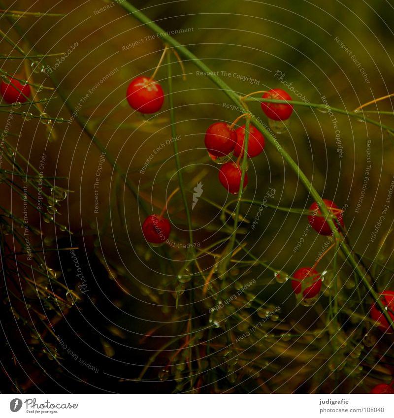 Garten im Herbst Natur Pflanze Farbe Wasser rot Umwelt Herbst Garten Wachstum mehrere nass Seil rund viele Zweig Kugel