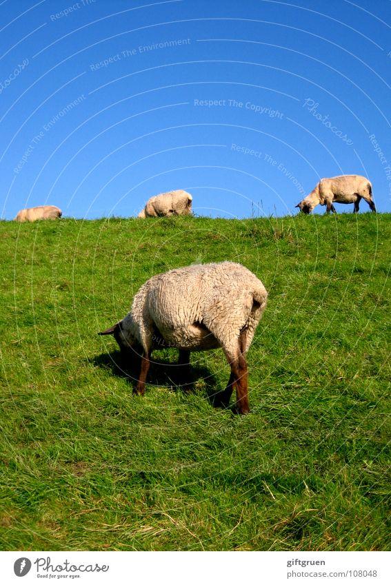 wollige rasenmäher Schaf Rasenmäher Deich Gras Wiese Fressen grün weiß Tier Wolle Landschaftspflege Säugetier Strand Küste rasenmähen blau Himmel Schönes Wetter