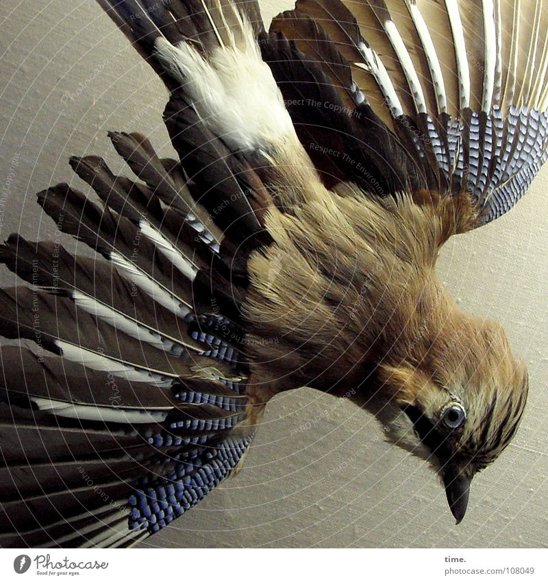 Flugsimulator Blick nach unten Vogel blau braun Tod Eichelhäher Feder orientierungslos gesprenkelt ausgestopft keine Peilung Auge