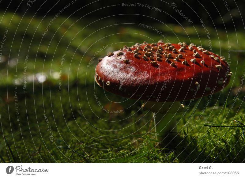 Schatz grün dunkel Wärme Herbst Glück Wachstum gefährlich stehen Bodenbelag Symbole & Metaphern Physik Hut Wohlgefühl Rauschmittel Pilz Gift