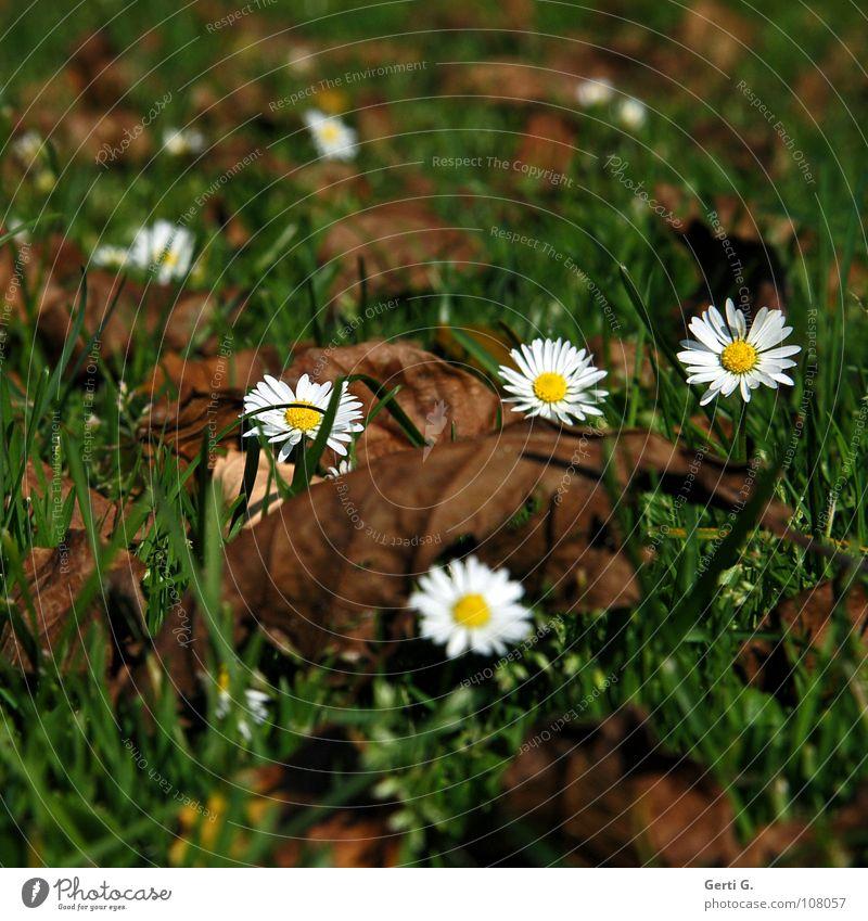 crazydaisy Gänseblümchen Herbst grün braun Blatt trocken morsch Wiese Gras mehrere Herbstlaub weiß gelb Blüte Blume Herbstfärbung herbstlich bequem alt mögen