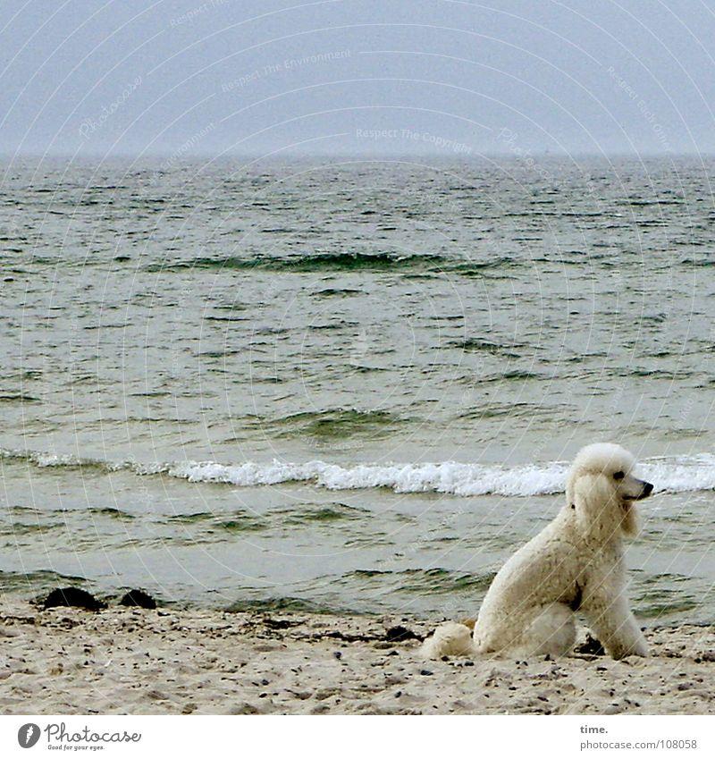 Arf, she said Außenaufnahme Wegsehen Strand Meer Küste Schifffahrt Hund sitzen weiß Geruch staunen Säugetier Königspudel oder so Herrchen ist nicht da