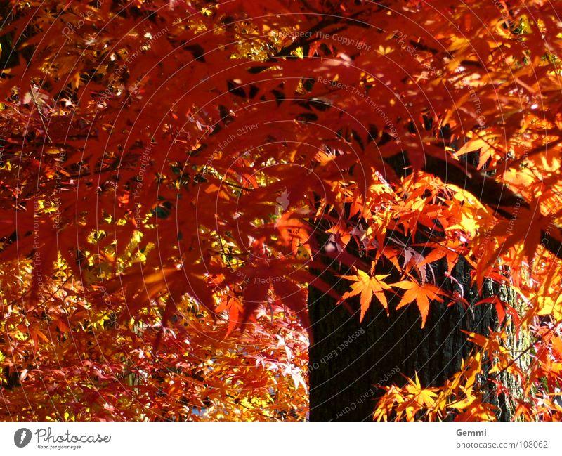 Momiji schön Baum rot Blatt Wärme Herbst leuchten fallen Physik exotisch Japan Ahorn standhaft heimelig