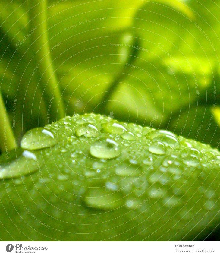 Der Herbst ist Grün! Blatt Pflanze grün nass feucht Unschärfe nah Ferne Pastellton Macht Wölbung Wasser Sprühflasche bestäuben Lichtbrechung dunkel