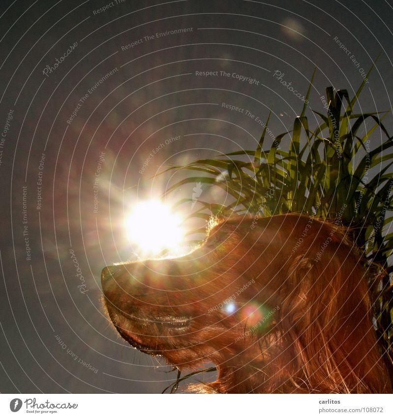 Der beste Freund des Menschen Hund Fell Freundlichkeit anhänglich Irish Setter Nachbar Sommer Gegenlicht blenden Froschperspektive Säugetier Freude