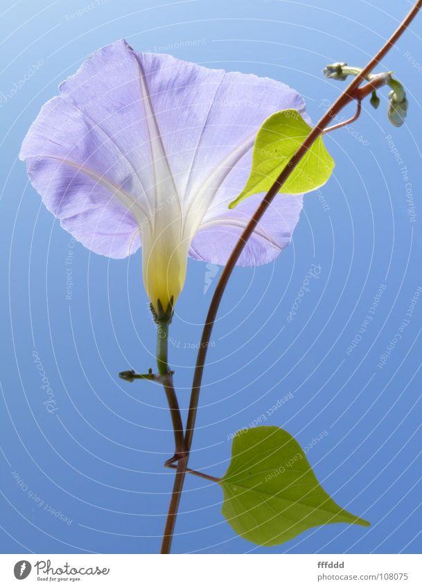 blaue Winde Blüte Kletterpflanzen Gegenlicht blaue Blüte aufwärts
