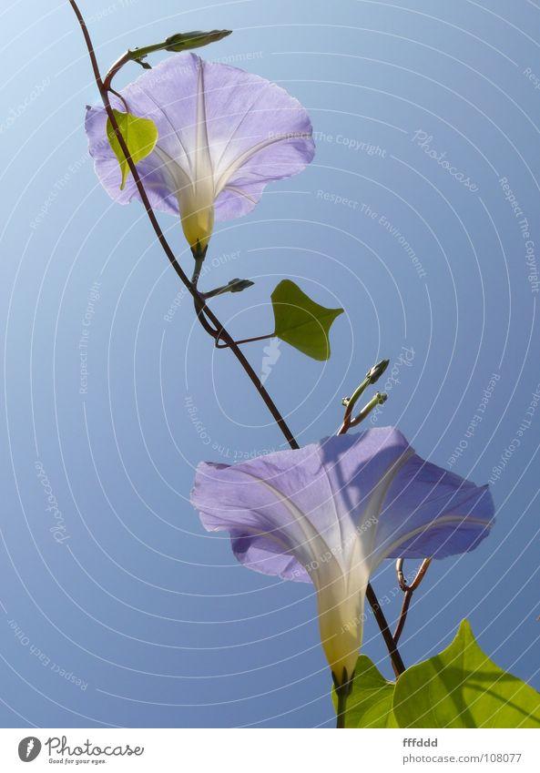 Zur Sonne Blüte Gegenlicht Blütenkelch 2 Wind blau blaue Winden zum Licht