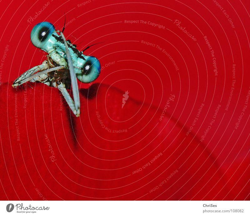 Blau auf Rot : Blaue Federlibelle (Platycnemis pennipes) blau rot Sommer Tier Auge Blüte Beine Arme Insekt Libelle Nordwalde Makroaufnahme Jahreszeiten