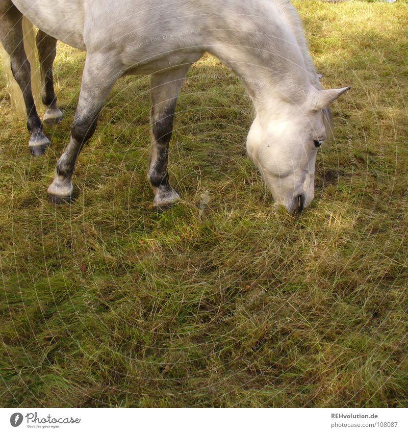 ein Pferdefoto :o) Wiese Fressen Huf Tier Schimmel stehen genießen Ernährung Nutztier füttern Pferdenarr Weide Pause Sommer Mähne Säugetier Beine Maul