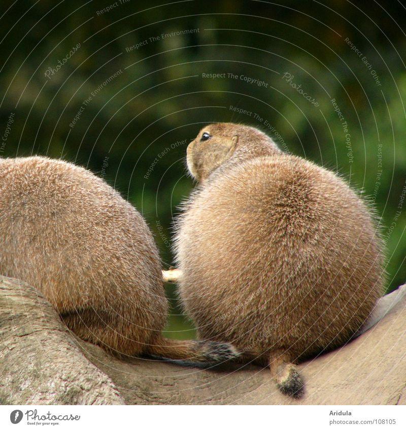 Kugel mit Kopf Tier Fell braun Erdmännchen rund Zoo grün Präriehund Säugetier sitzen mehrere Natur