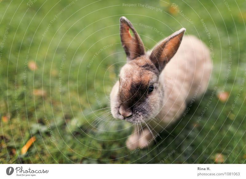 Gelochtes urban Häschen Herbst Wiese Wildtier Kanninchen 1 Tier niedlich gelöchert Loch Wunde zutraulich Herbstlaub Farbfoto Außenaufnahme Menschenleer
