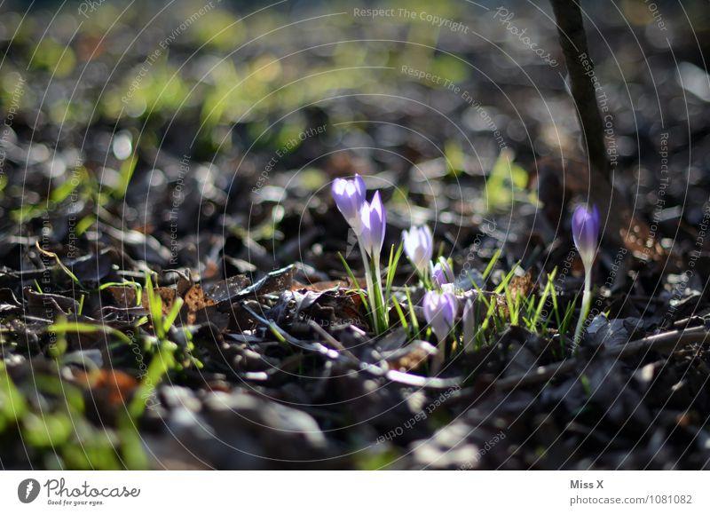 Erwacht Garten Erde Frühling Blume Blüte Blühend Wachstum Krokusse Blumenbeet Frühlingsblumenbeet Frühlingstag Farbfoto mehrfarbig Außenaufnahme Menschenleer