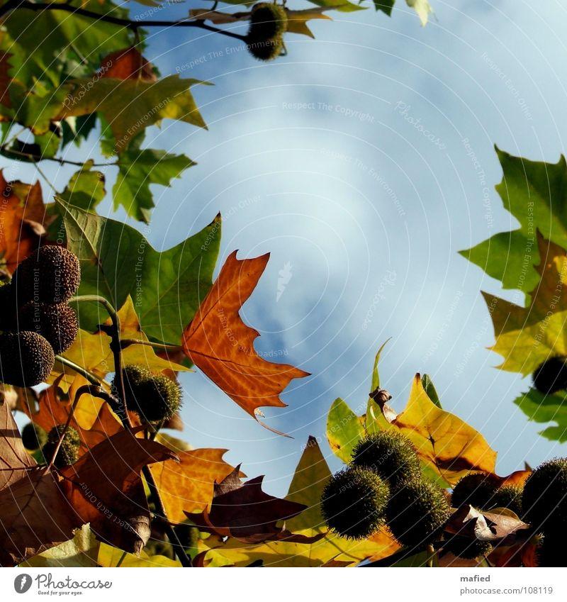 Wer jetzt allein ist, wird es lange bleiben* Herbst Blatt weiß rot grün gelb Vergänglichkeit ruhig Ziel Himmel Sonne Ahornblättrige Platane Platanus acerifolia