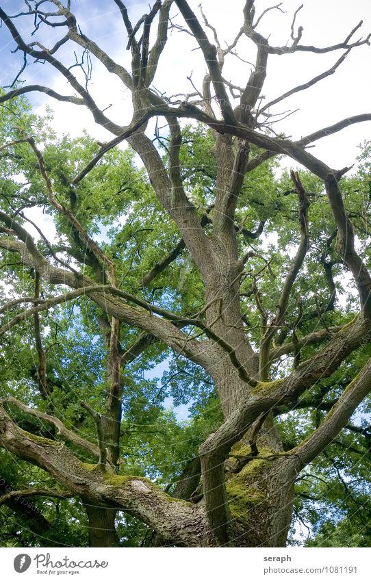 """Alte Eiche Moos Baumflechte verwittert Baumrinde Ast """"""""crown of tree"""""""" Biotop Forstwirtschaft Märchen Wald Natur Pflanze stem Kraft Baumkrone Zweig Umwelt"""