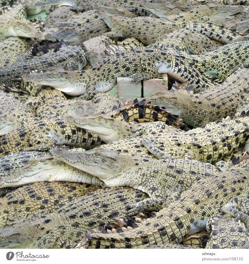 Krokodilsalat Tier gefährlich trist Tiergruppe Zoo Alkoholisiert Langeweile eng Ackerbau Australien Gehege Reptil Landwirtschaft Echsen Krokodil überfüllt