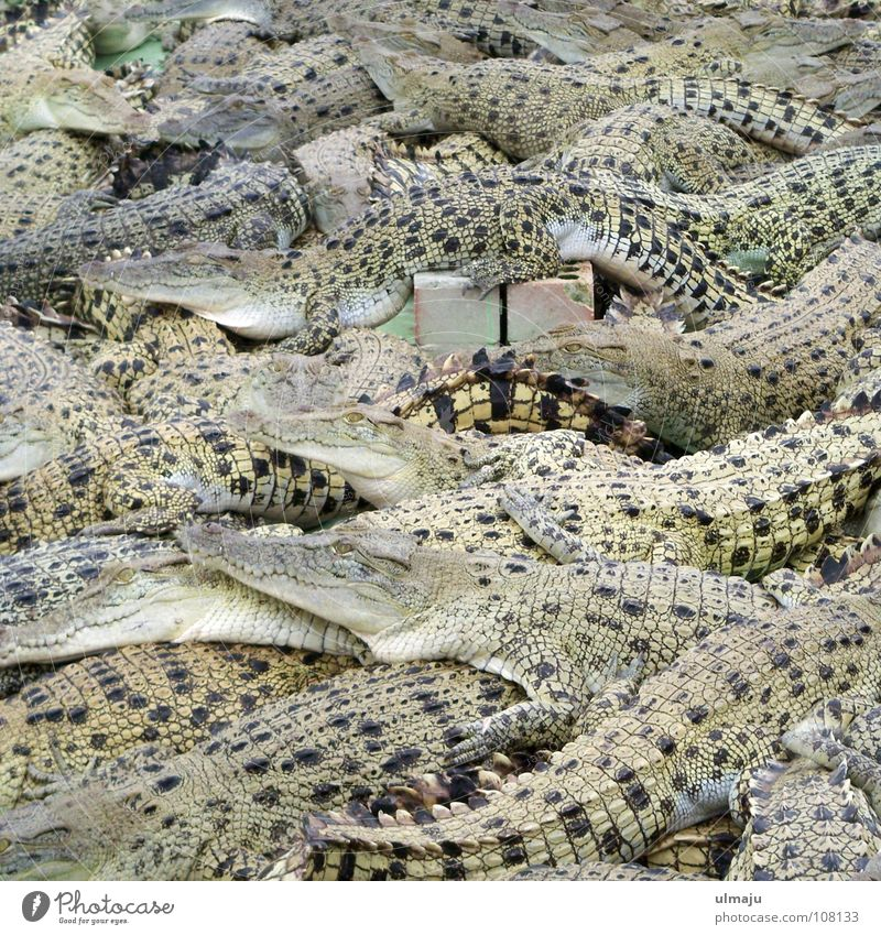 Krokodilsalat Tier gefährlich trist Tiergruppe Zoo Alkoholisiert Langeweile eng Ackerbau Australien Gehege Reptil Landwirtschaft Echsen überfüllt