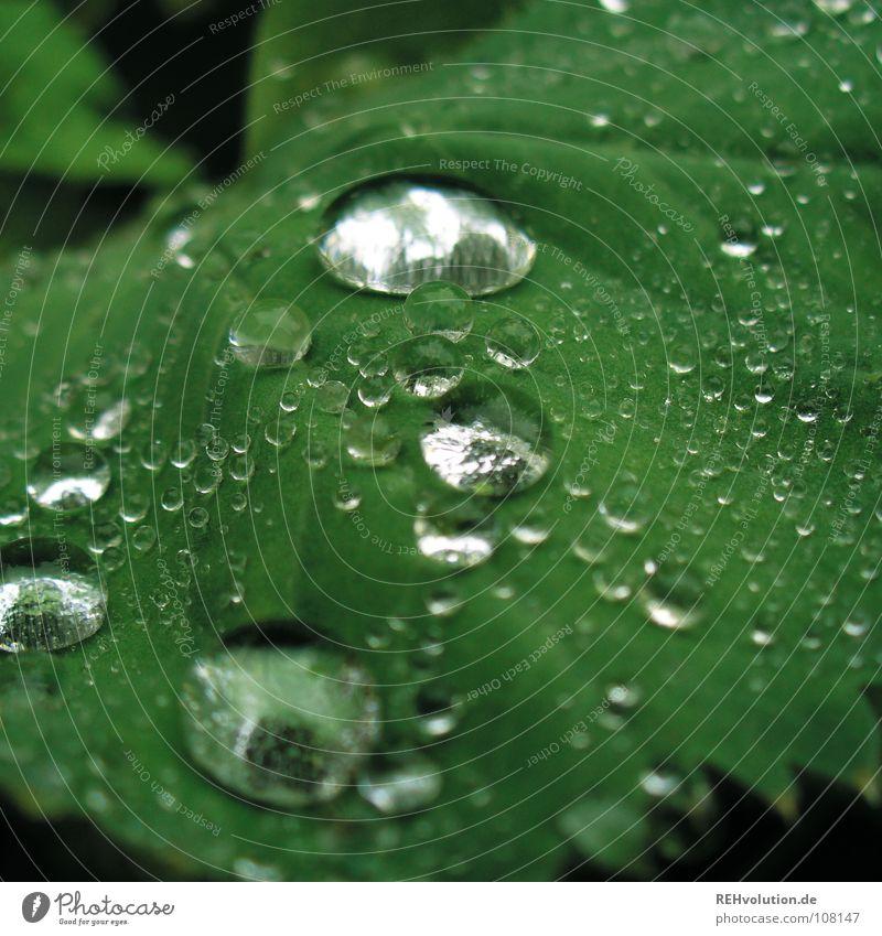 Dröpsche auf Blättsche grün nass feucht Gefäße hydrophob Wassertropfen weich Pflanze Garten Park glänzend Regen Glätte xxee