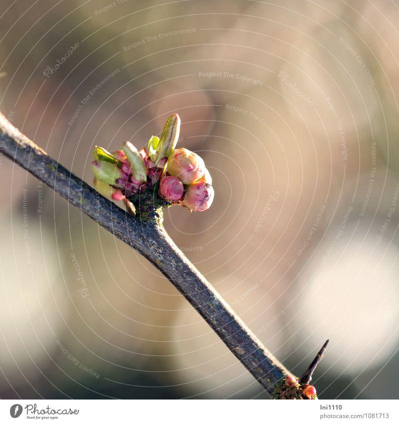 Knospen der Zierquitte Natur Pflanze Sonne Sonnenlicht Frühling Klima Wetter Schönes Wetter Sträucher Blatt Blüte Nutzpflanze