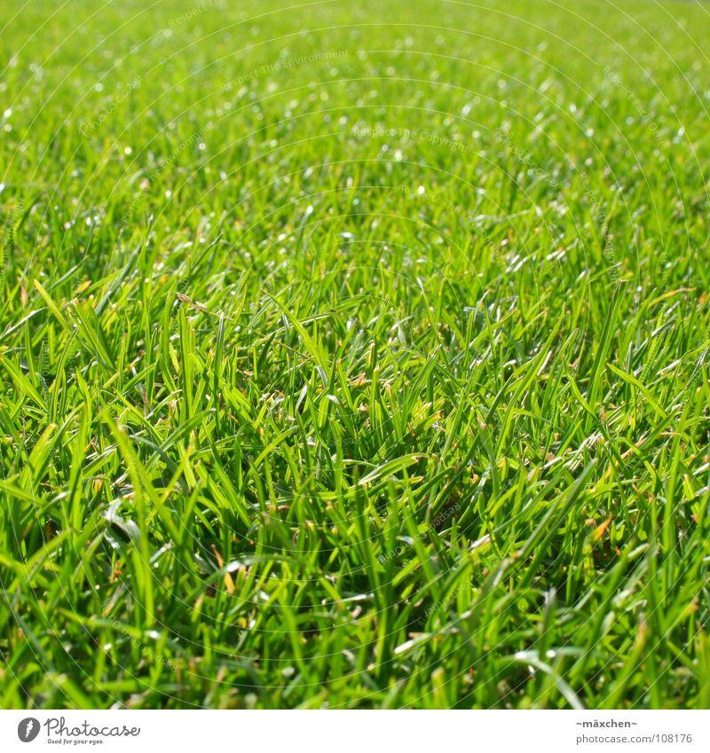 lush grass | saftiges Gras grün Halm frisch Aussaat weich Kraft knallig Erholung Sonnenbad Wiederkäuer Grasfleck Makroaufnahme Nahaufnahme Sommer Erde Sand