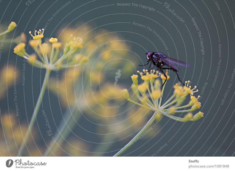Dillwanderung Natur Pflanze Sommer Nutzpflanze Dillblüten Doldenblüte Gartenpflanzen Fliege Insekt Beine Facettenauge krabbeln gelb grün Leichtigkeit leicht