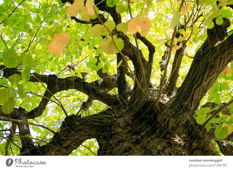 lichtspiel der blätter Baum grün Baumrinde braun gelb weiß Blatt schön Freundlichkeit Sommer Herbst Frühling Jahreszeiten Muster Farbenspiel Spielen Wiese Wald