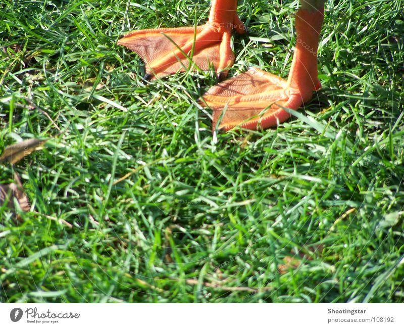 step by step Gras Vogel Ente bewegungslos schreiten unterwegs