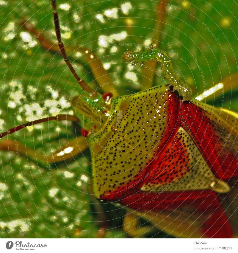 Freunde für Immer : Beerenwanze mit Raupe Baumwanze Zusammensein Wanze Insekt grün rot Tier Nordwalde Makroaufnahme Nahaufnahme Sommer nicht allein gleichfarbig